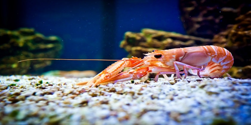 Shrimp Help To Clean Water