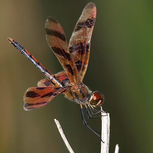 [HELP] Canon Rebel - need lenses - n00b-dragonfly08-3284-halloweenpennant.jpg