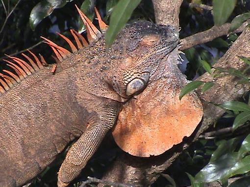 Discover Costa Rica Rainforest Creatures (Video + Stills)-iguana.jpg