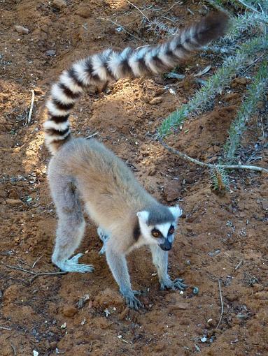 Meet Madagascar's Lemurs On Line (Video + Stills)-ring-tailed-lemur.jpg