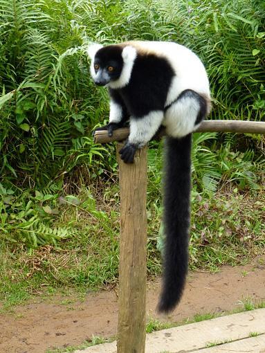 Meet Madagascar's Lemurs On Line (Video + Stills)-black-white-lemur.jpg