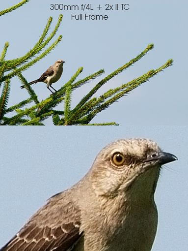 To IS or not to IS: Image Stabilization-600mm-mockingbird-example-composite.jpg