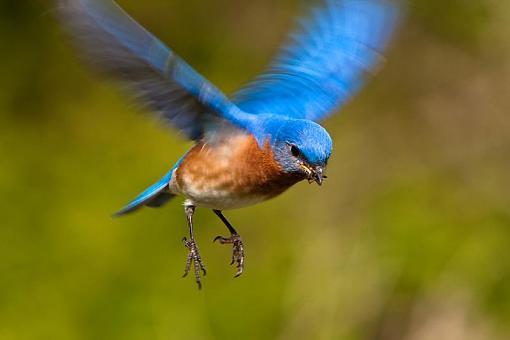 Looking 4 opinion on Sigma lens-bluebird.jpg