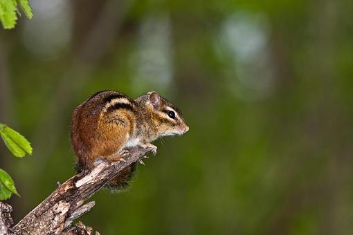 Looking 4 opinion on Sigma lens-chipmunk.jpg