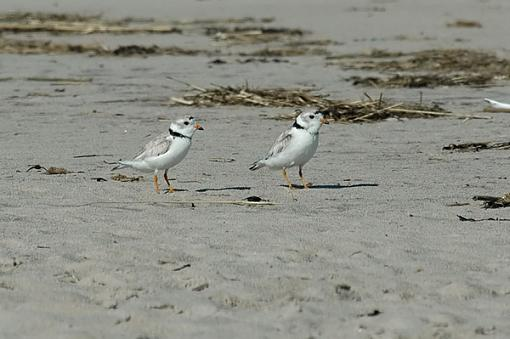 Piping Plover-226_a_web.jpg