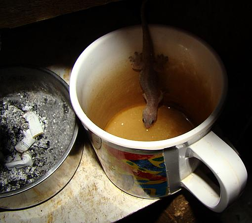 Tea with milk,sugar..and lizard-dsc00619.jpg