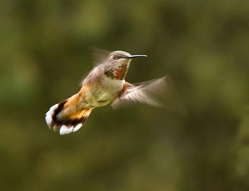 Hummingbird at slower shutter speed-hummer-flapping.jpg