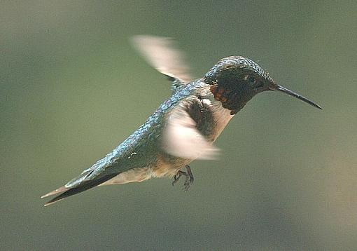 First hummingbird of the season-hoover-two.jpg
