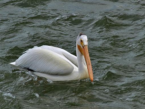 Pelican waiting for dinner...-pelican.jpg