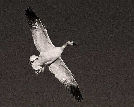Snow goose-snow-geese-overhead-fly-b-w.jpg