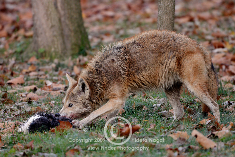 Exceptional Coyote In My Backyard Photo Gallery