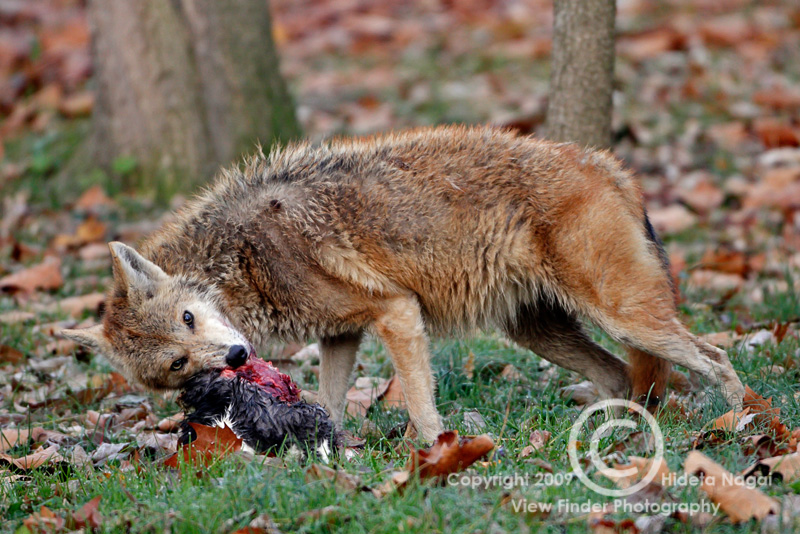 Charming Coyote In My Backyard Amazing Pictures