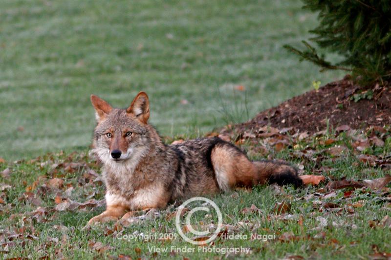 Coyote in my backyard ate the neighborhood cat (warning ...