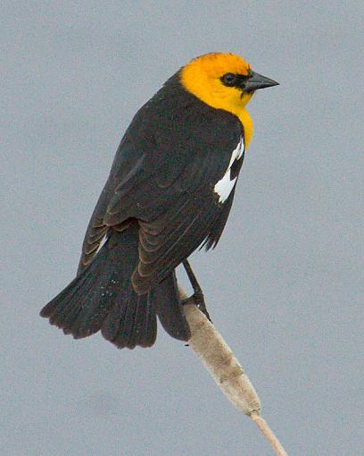 Freezeout Lake-yellow-headed-blackbird.jpg