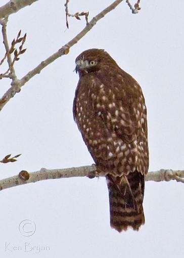 FALL 2010 Bird ID-20101124_hawk_6031-sm.jpg