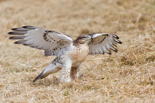 Assorted photos-ferruginous-hawk-raptor-show_5295.jpg