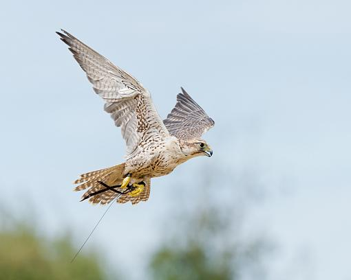 Assorted photos-saler-falcon_5120.jpg