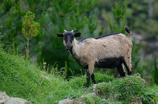 Feral Goat-goat1.jpg