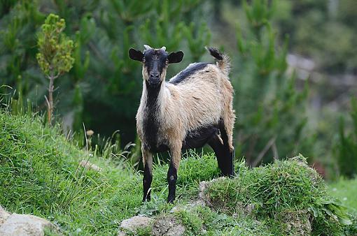 Feral Goat-goat2.jpg