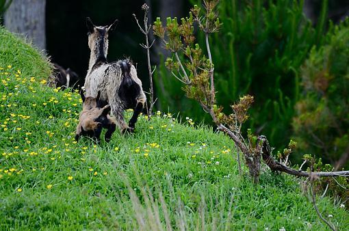 Feral Goat-goat3.jpg