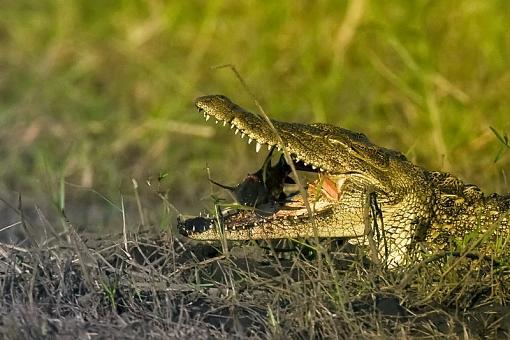 From Zambia-croc-zambia-13-_dsc2144.jpg