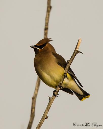 Waxwing-_d4_4003-edit.jpg