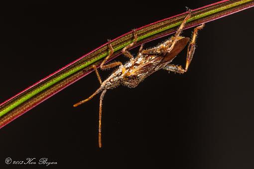 Western Conifer Seed Bug-20131221-coniferseedbug-6325.jpg