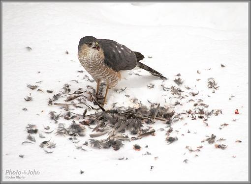 To Live & Die In My Backyard - Cooper's Hawk-_c232345_1200.jpg