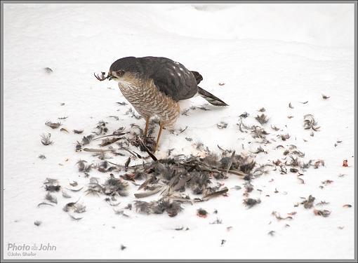 To Live & Die In My Backyard - Cooper's Hawk-_c232342_1200.jpg
