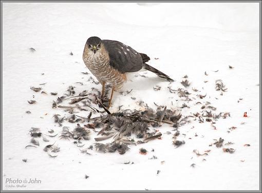 To Live & Die In My Backyard - Cooper's Hawk-_c232346_1200.jpg