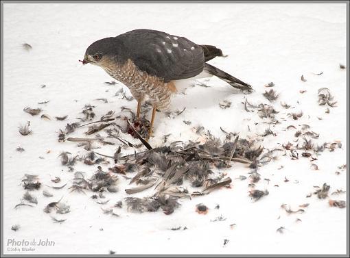 To Live & Die In My Backyard - Cooper's Hawk-_c232359_1200.jpg