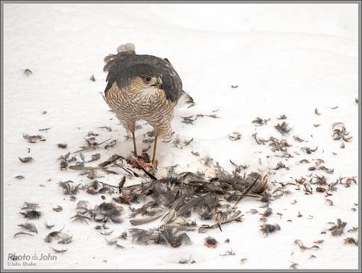 To Live & Die In My Backyard - Cooper's Hawk-_c232397_1200.jpg