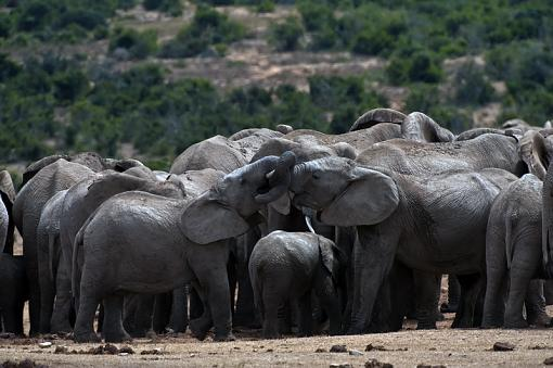 Elephant gathering-crowded-hole-_dsc3707r.jpg