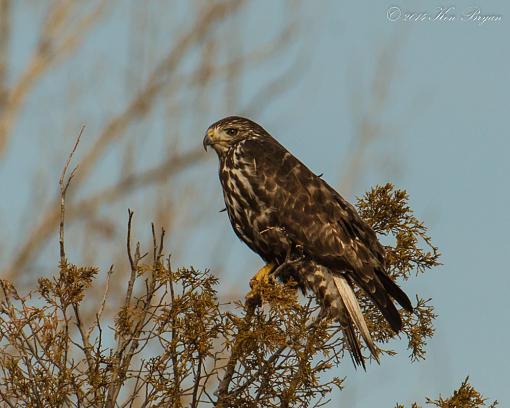 Harlan's Red-tailed Hawk-gallery_25121_4597_94006.jpg