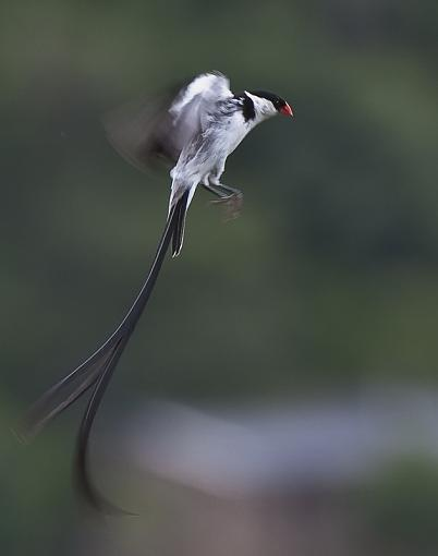Pin Tailed Wydah - courting-pin-tl-wydh-_dsc0889.jpg