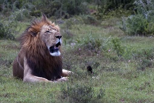 Lions from last week-lion-male-addo-14-dsc03974.jpg