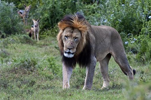 Lions from last week-lion-male-addo-14-dsc03945.jpg