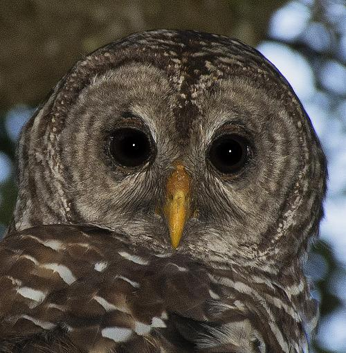 Barred Owl-owl1sm.jpg