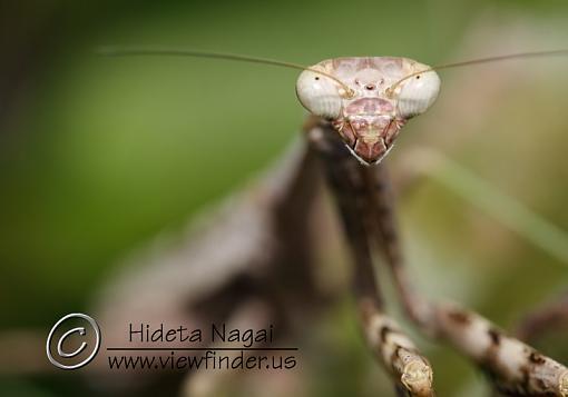 Mantis Portrait-mantis-portrait-1.jpg