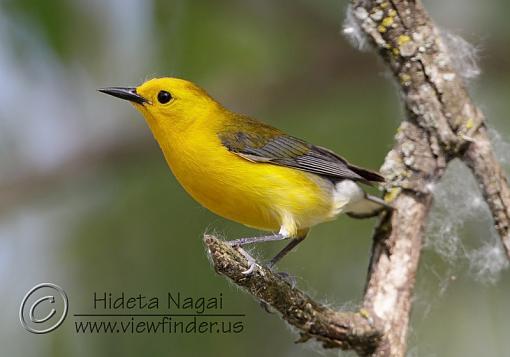 Prothonotary Warbler-prothonotary-warbler.jpg