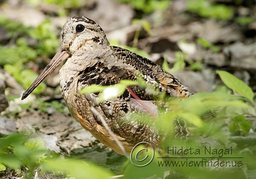 Master of Camouflage-woodcock.jpg