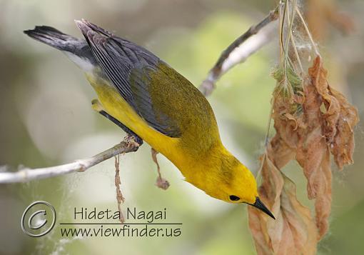Prothonotary Warbler-prothonotary-warbler-2.jpg