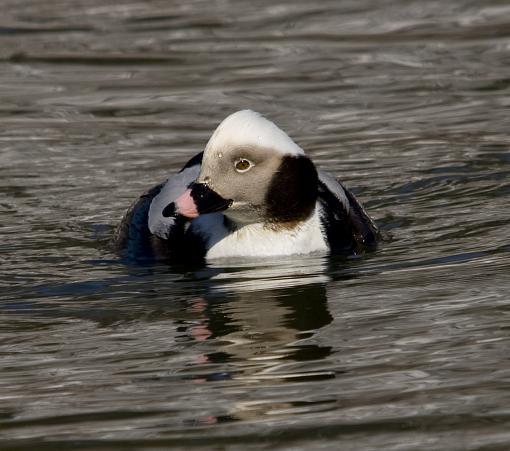 Long Tailed Duck-lt-duck2.jpg