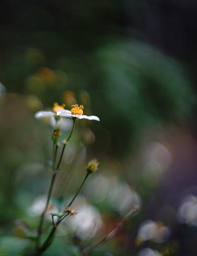 Flowers - Leica Summarit 50mm f1.5 Bokeh-dsc09753-copy.jpg