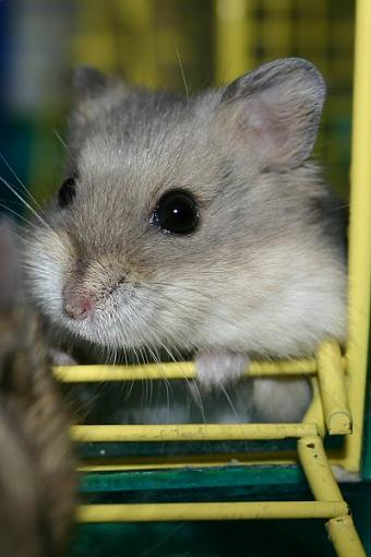 Anyone in the Chicago area want a hamster (or two)?-adonis.jpg