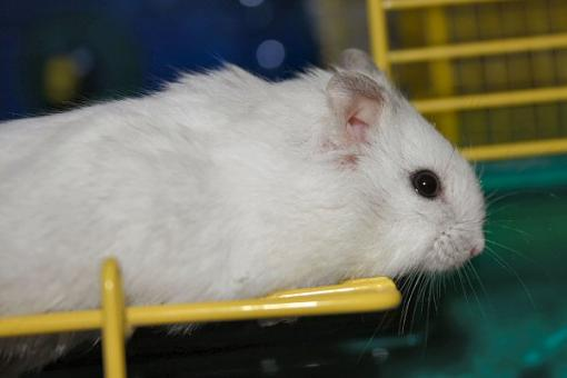 Anyone in the Chicago area want a hamster (or two)?-ares1.jpg