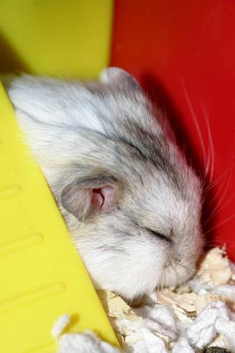 Anyone in the Chicago area want a hamster (or two)?-echosleep.jpg