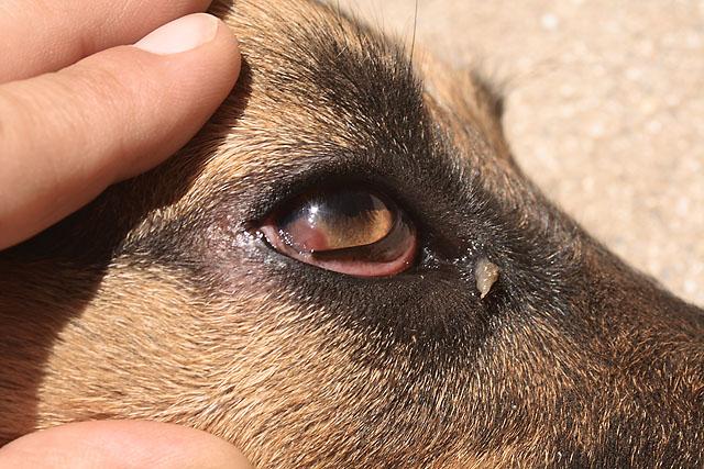 Dog Eye Diseases Pannus