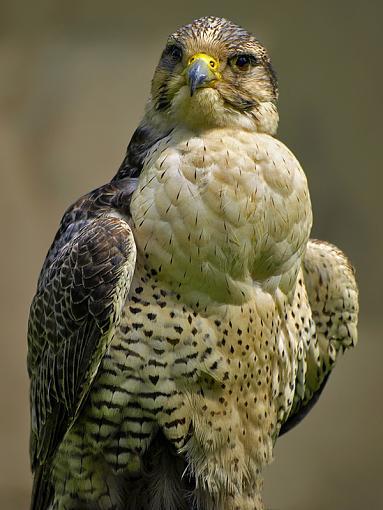 olympus 70-300-falcon2.jpg
