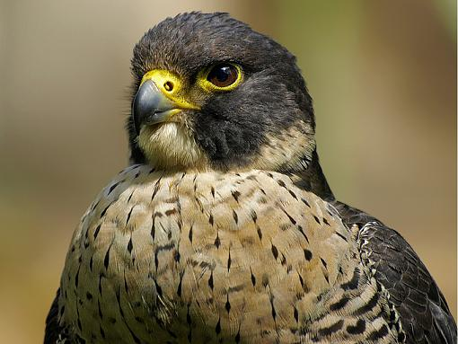 olympus 70-300-falcon.jpg